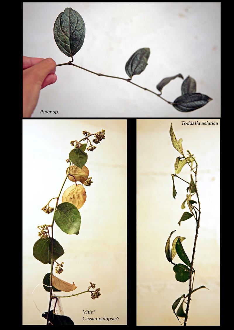 Piper sp. A Vitaceae. Toddalia asiatica.