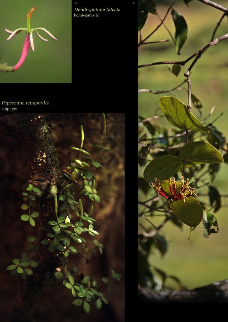 Dendrophotoe falcata, hemi-parasite. Peperomia tetraphylla.