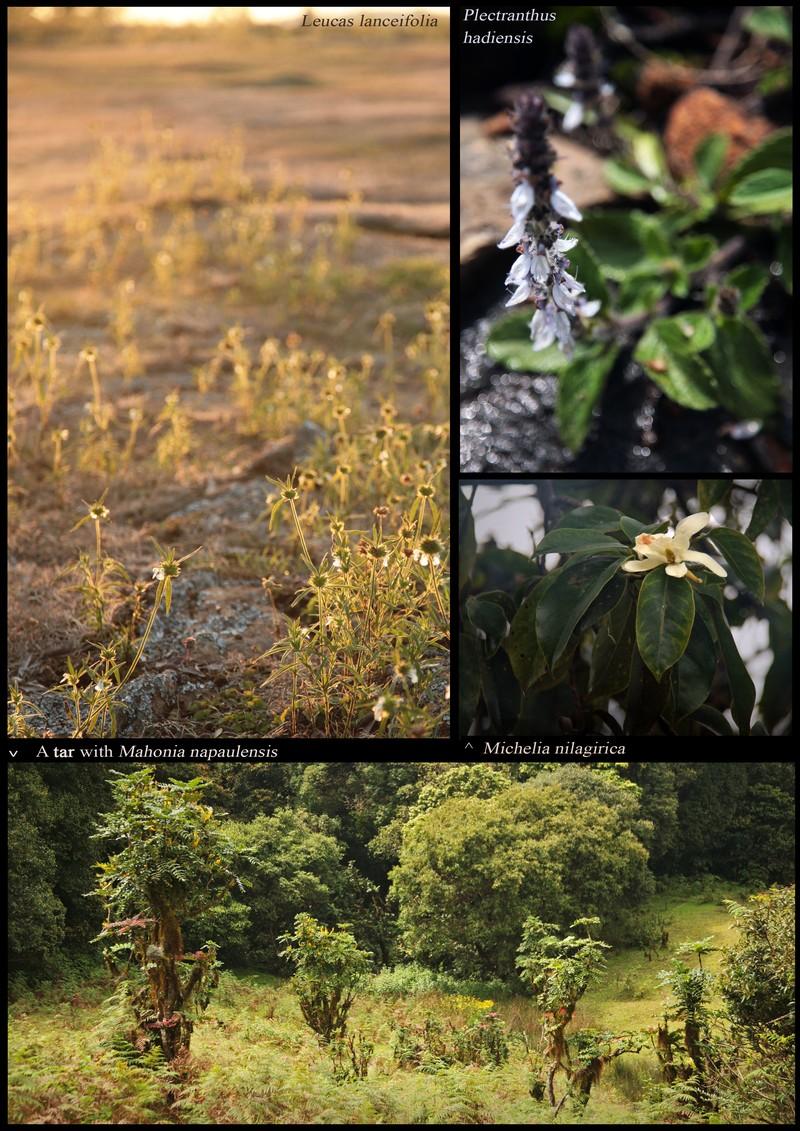 Leucas lanceifolia. Plectranthus hadiensis. Michelia nilagirica. Mahonia napaulensis in a 'tar' (under-shola wamp).