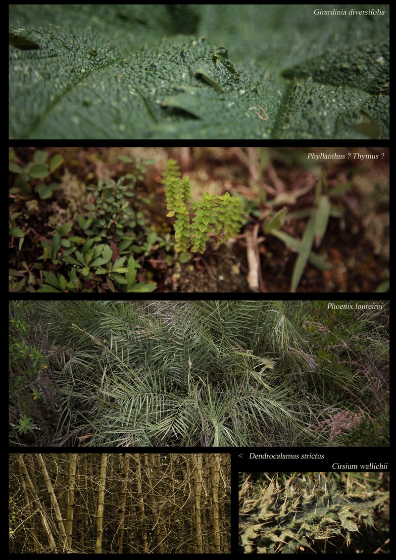 Girardinia diversifolia. Phyllanthus sp.. Phoenix loureiroi. Dendrocalamus strictus. Cirsium wallichii.