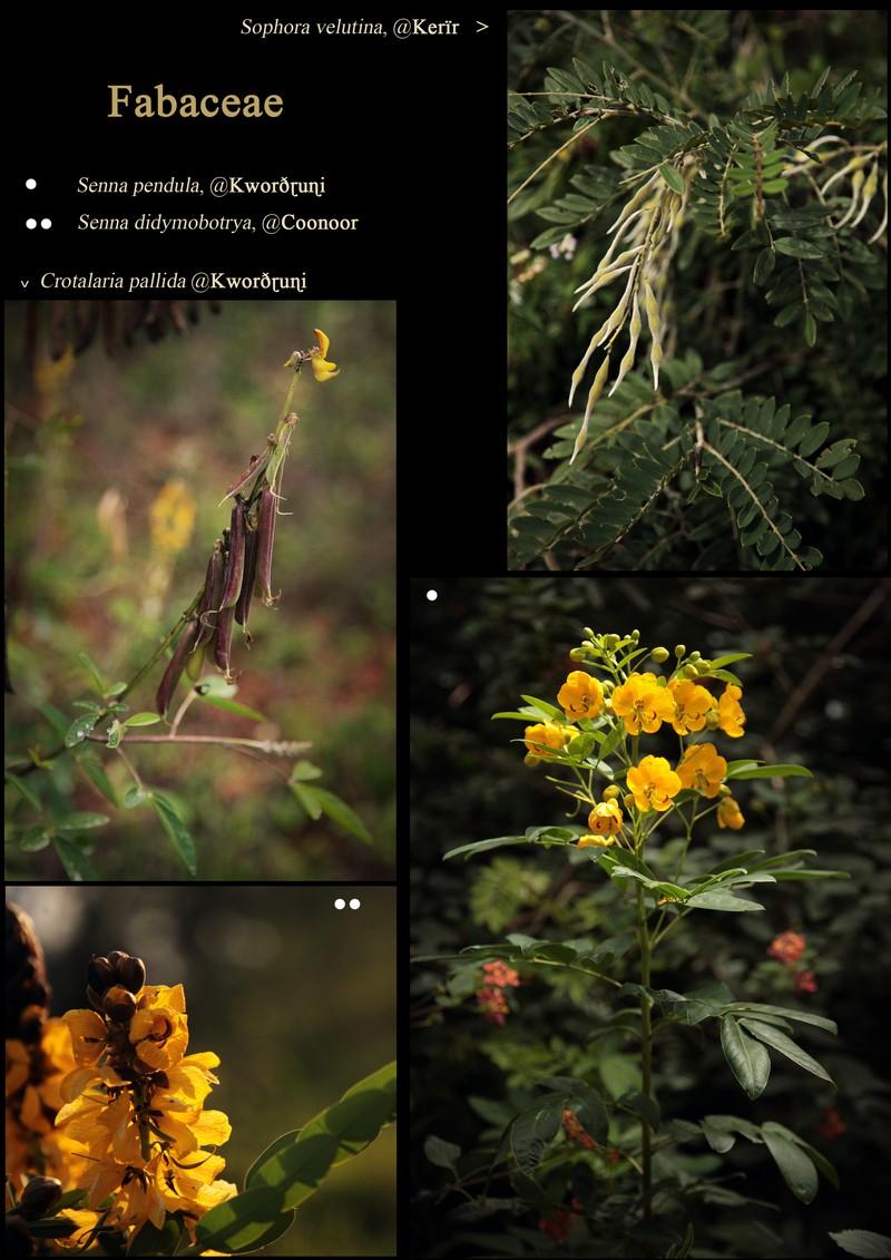 Nilgiri Fabaceae: Senna pendula. Senna didymobotrya. Crotalaria pallida. Sophora velutina.
