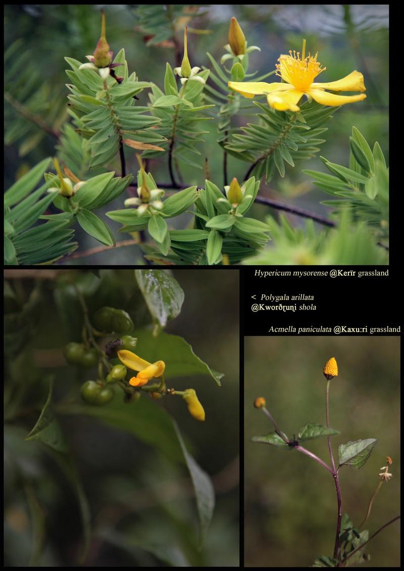 Hypericum mysorense (Hypericaceae). Polygala arillata. Acmella paniculata (Asteraceae).