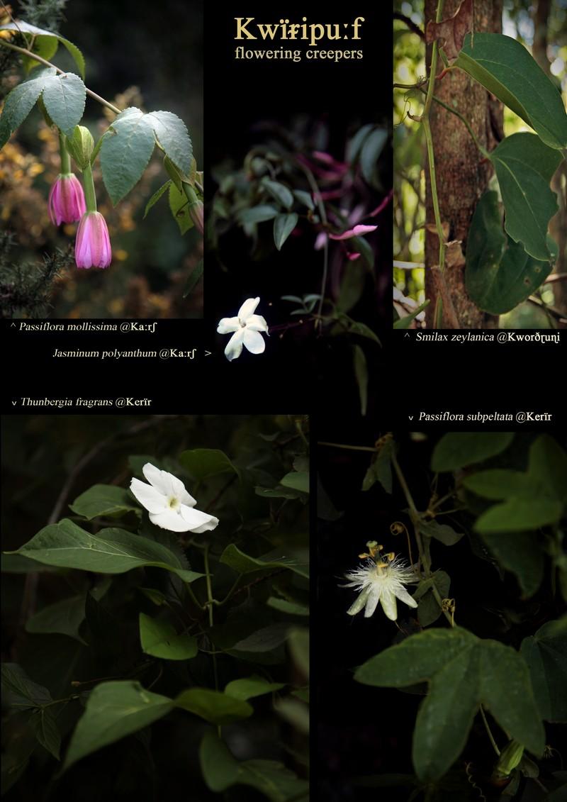Toda 'Kwïripu:f', flowering creepers. Passiflora mollissima (Passifloraceae). Jasminum polyanthum (Oleaceae). Smilax zeylanica (Smilacaceae). Thunbergia fragrans (Acanthaceae). Passiflora subpeltata (Passifloraceae).