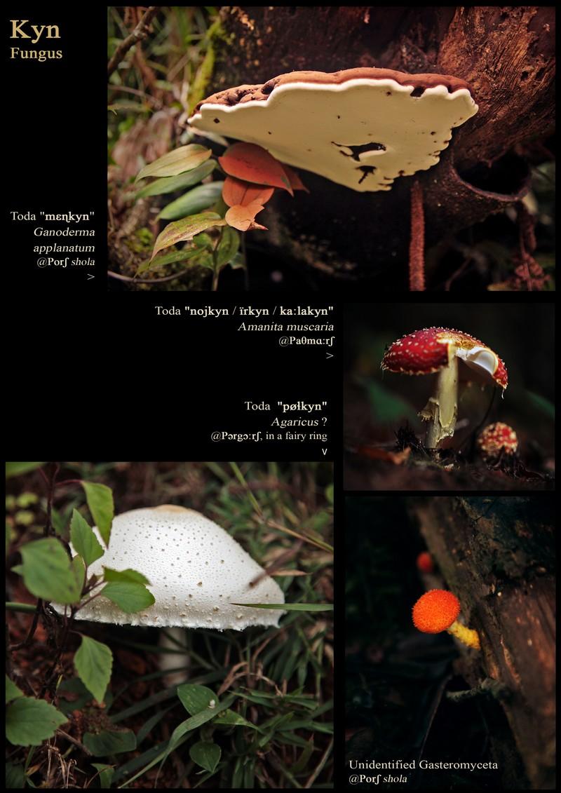Kyn', fungus. Ganoderma applanatum. Amanita muscaria. Agaricus. Gasteromyceta, unidentified.