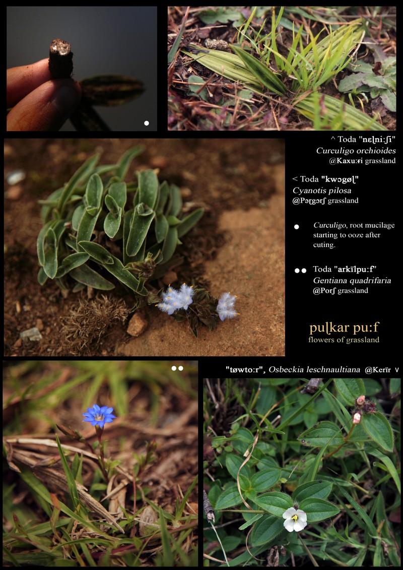 Curculigo orchioides (Hypoxidaceae). Cyanotis pilosa (Commelinaceae). Gentiana quadrifaria (Gentianaceae). Osbeckia leschnaultiana (Melastomataceae).