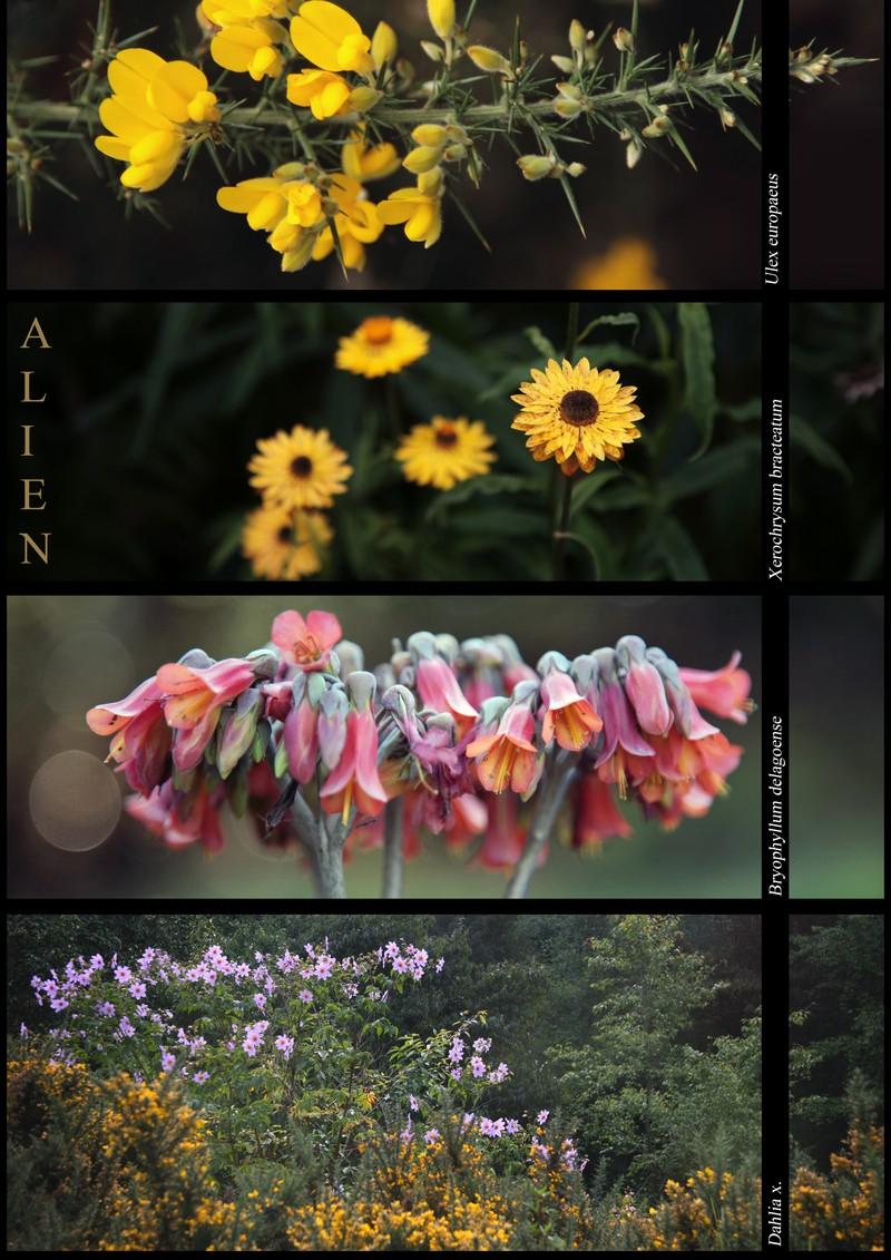 Ulex europaeus, Xerochrysum bracteatum, Bryophyllum delagiense, Dahlia x: exotic species in the Nilgiris.