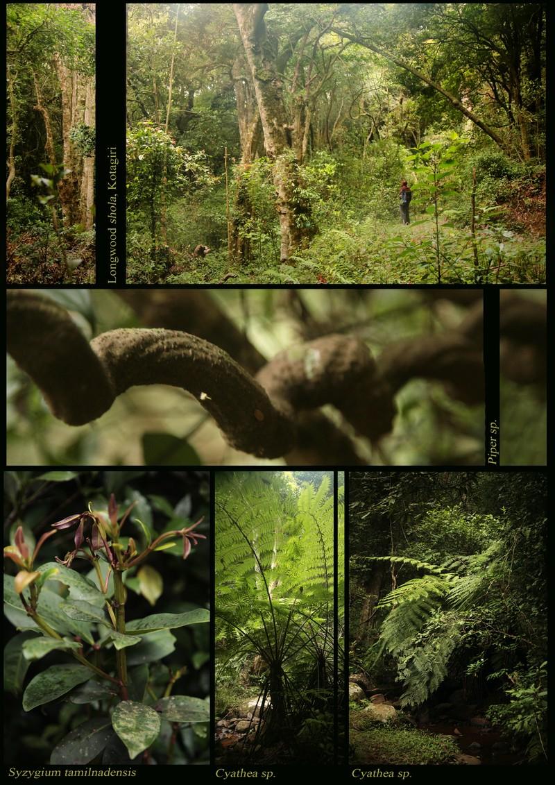 The shola: Longwood shola (Kotagiri). Piper sp. Coiled stem. Syzygium tamilnadensis (Myrtaceae). Cyathea sp.