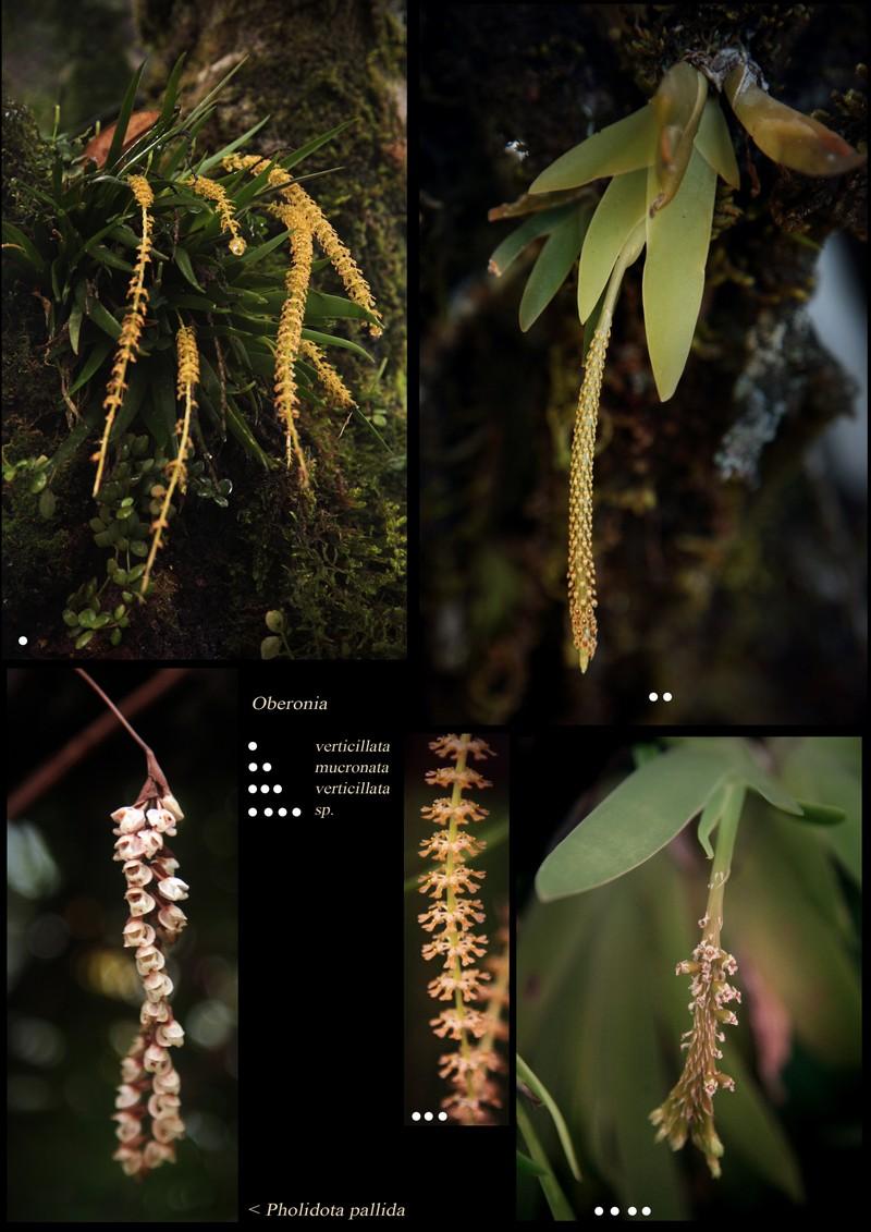 Oberonia verticillata. O. mucronata. O. sp.. Pholidota pallida (Orchidaceae).