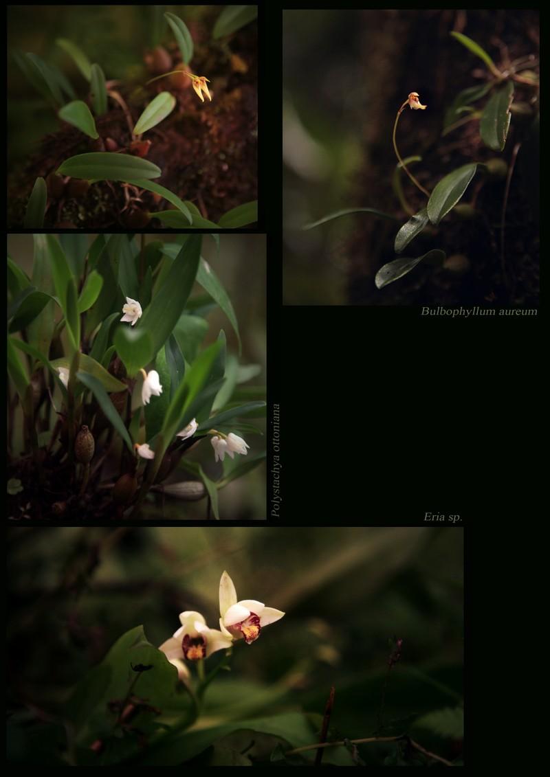 Bulbophyllum aureum. Polystachya ottoniana. Eria sp. (Orchidaceae), in Avalanche shola.