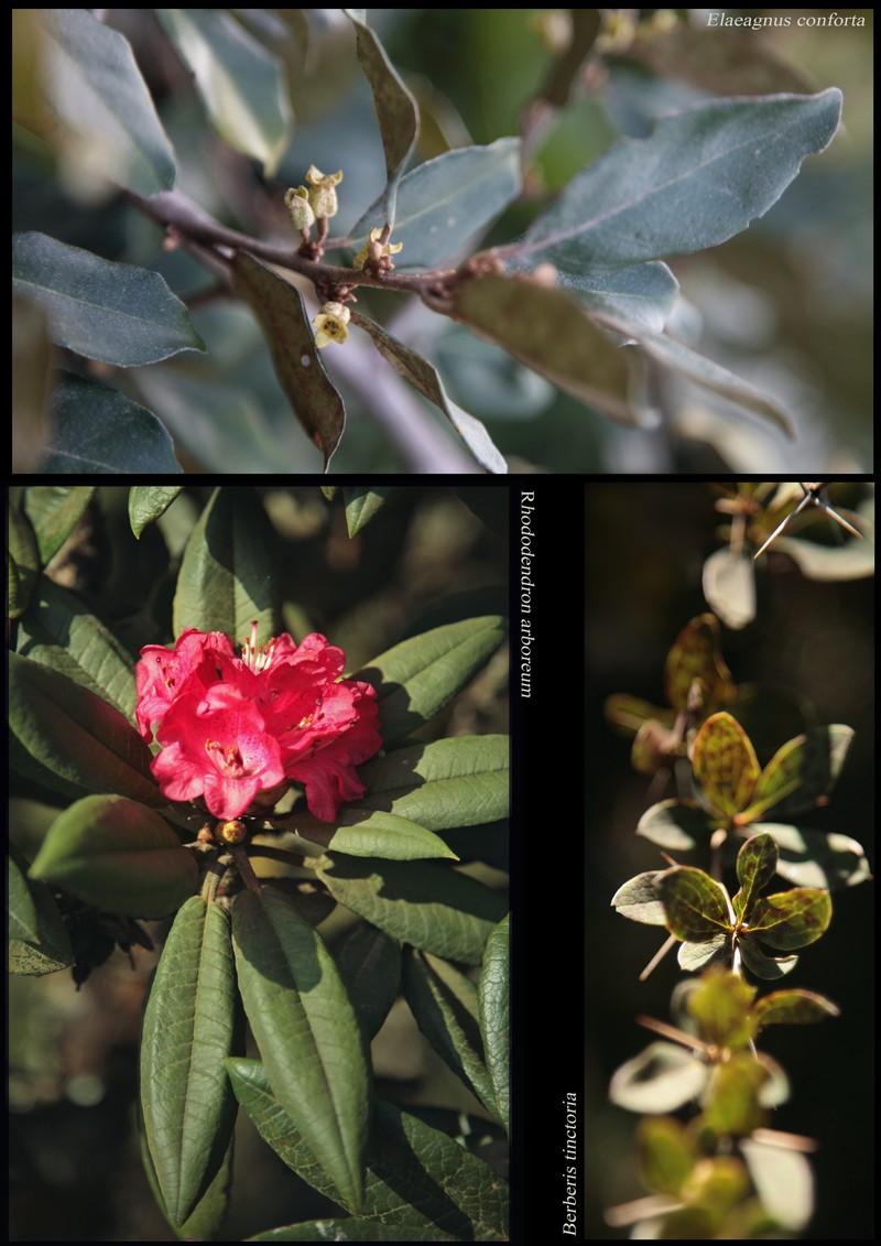 Elaeagnus conforta. Rhododendron arboreum. Berberis tinctoria.