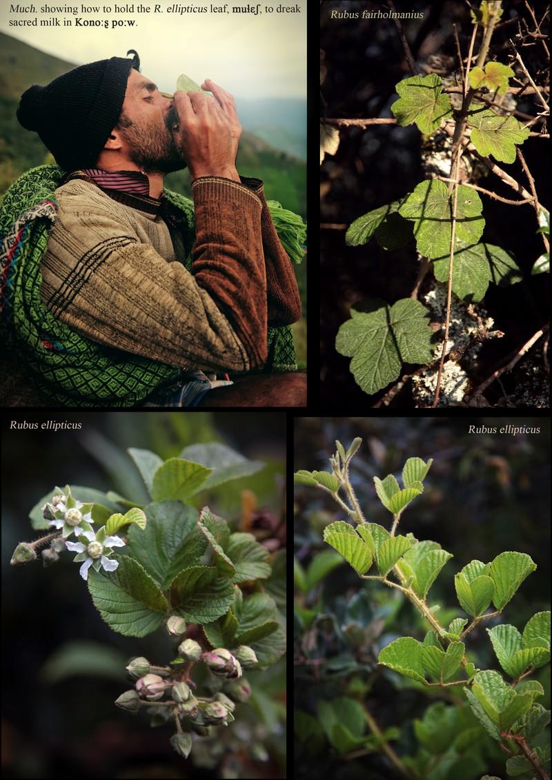 Rubus fairholmanius. Rubus ellipticus.