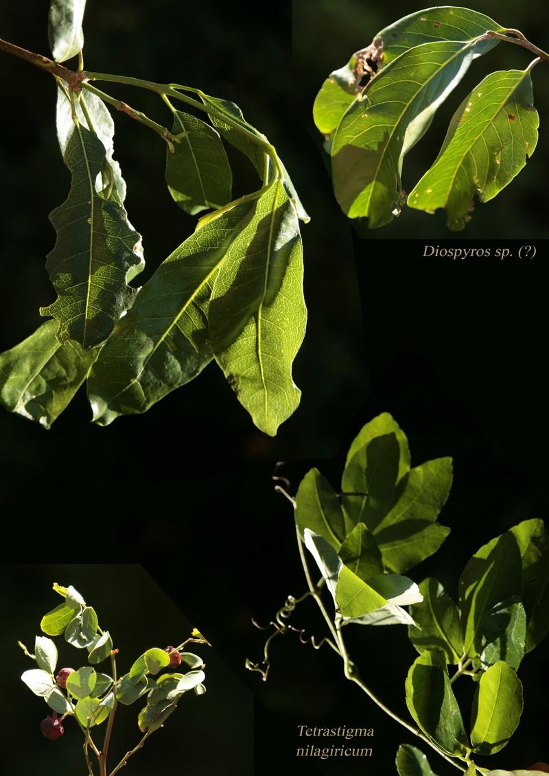 Diospyros sp. Tetrastigma nilagiricum.