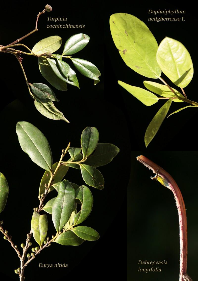 Turpinia cochinchinensis. Daphniphyllum neilgherrense f. Eurya nitida. Debregeasia longifolia.