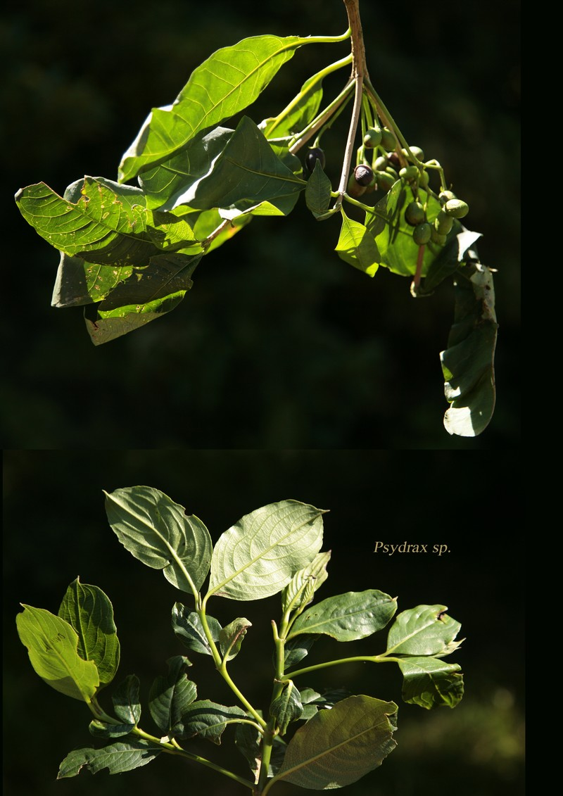 Psydrax sp.