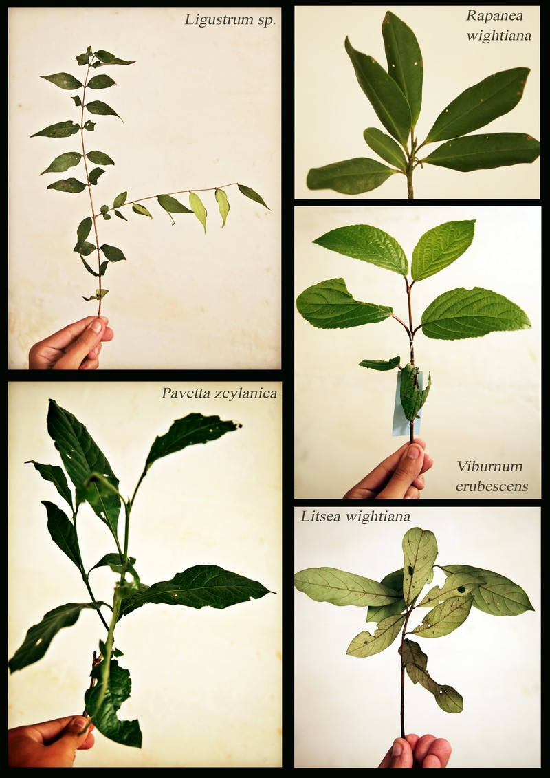 Ligustrum sp. Rapanea wightiana. Viburnum erubescens. Litsea wightiana. Pavetta zeylanica.