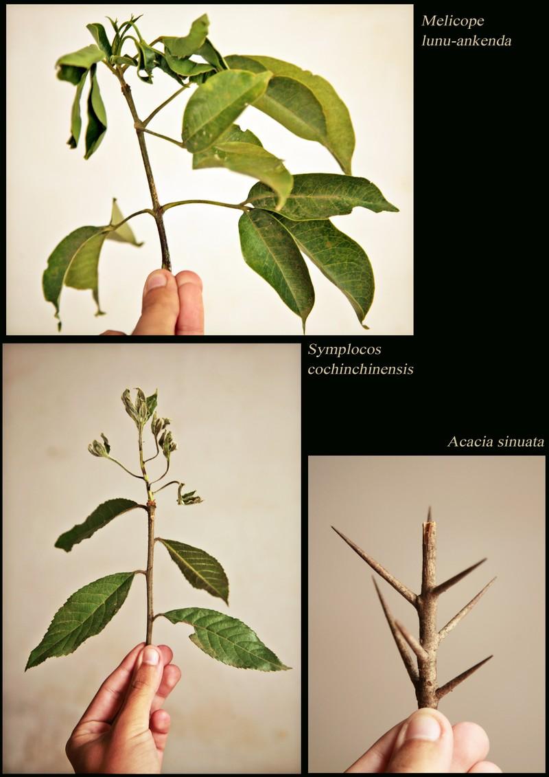 Melicope lunu-ankenda. Symplocos cochinchinensis. Acacia sinuata.