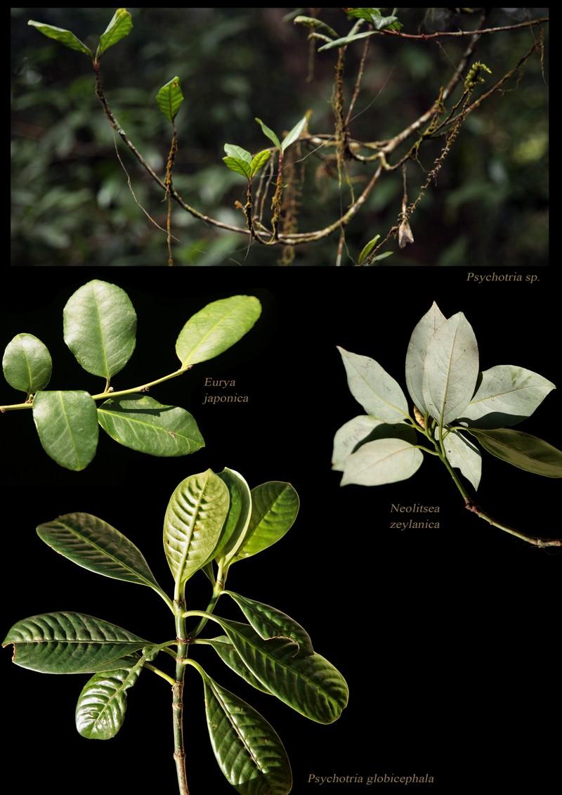 Psychotria sp. Eurya japonica. Neolitsea zeylanica. Psychotria globicephala.