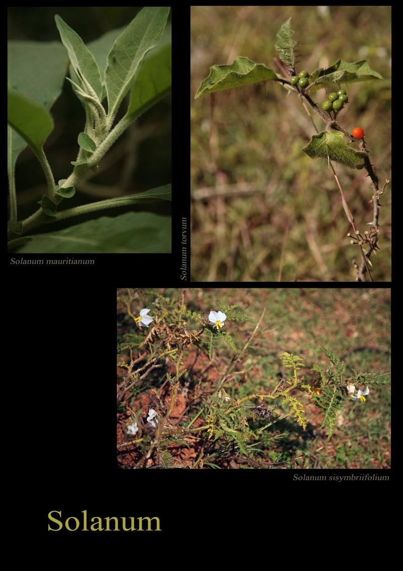 Solanum mauritianum. Solanum torvum. Solanum sissymbriifolium.