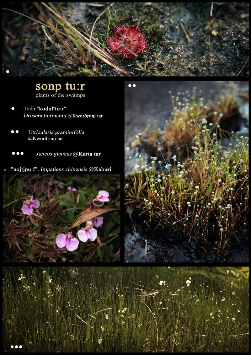 Sonp tu:r', vascular plants of the swamps. Drosera burmanni. Utricularia graminifolia. Juncus glaucus. Impatiens chinensis.
