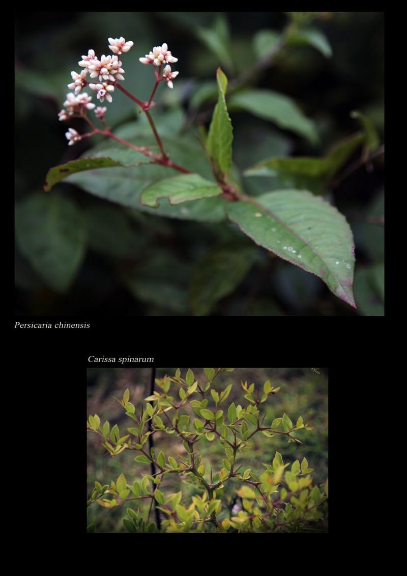 Persicaria chinensis. Carissa spinarum.